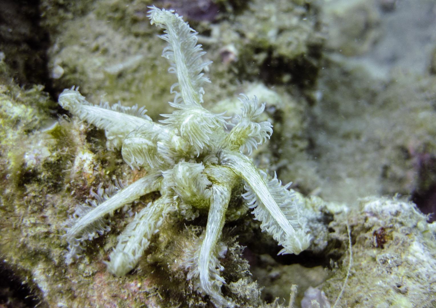 Голотурия или Морской огурец Синапта пятнистая, Synapta maculata, (Holothuroidea)