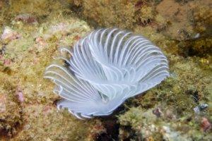 Белый веерный трубчатый червь, White Calcareous tube worm (Serpula columbiana)