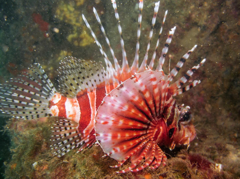 Крылатка зебра, Zebra dwarf lionfish (Pterois volitans)