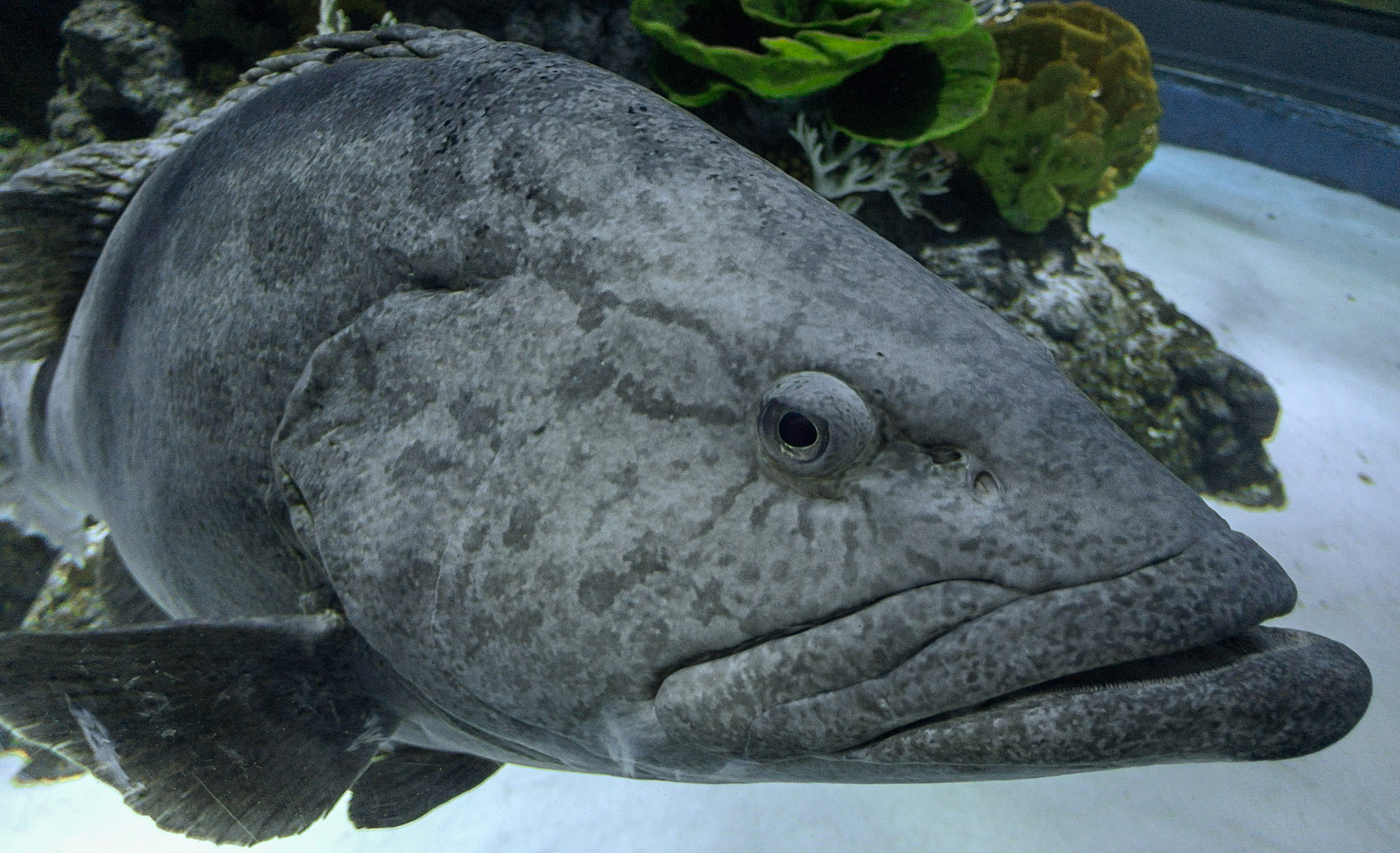 Гуаса, Atlantic goliath grouper (Epinephelus itajara), S.E.A. Aquarium