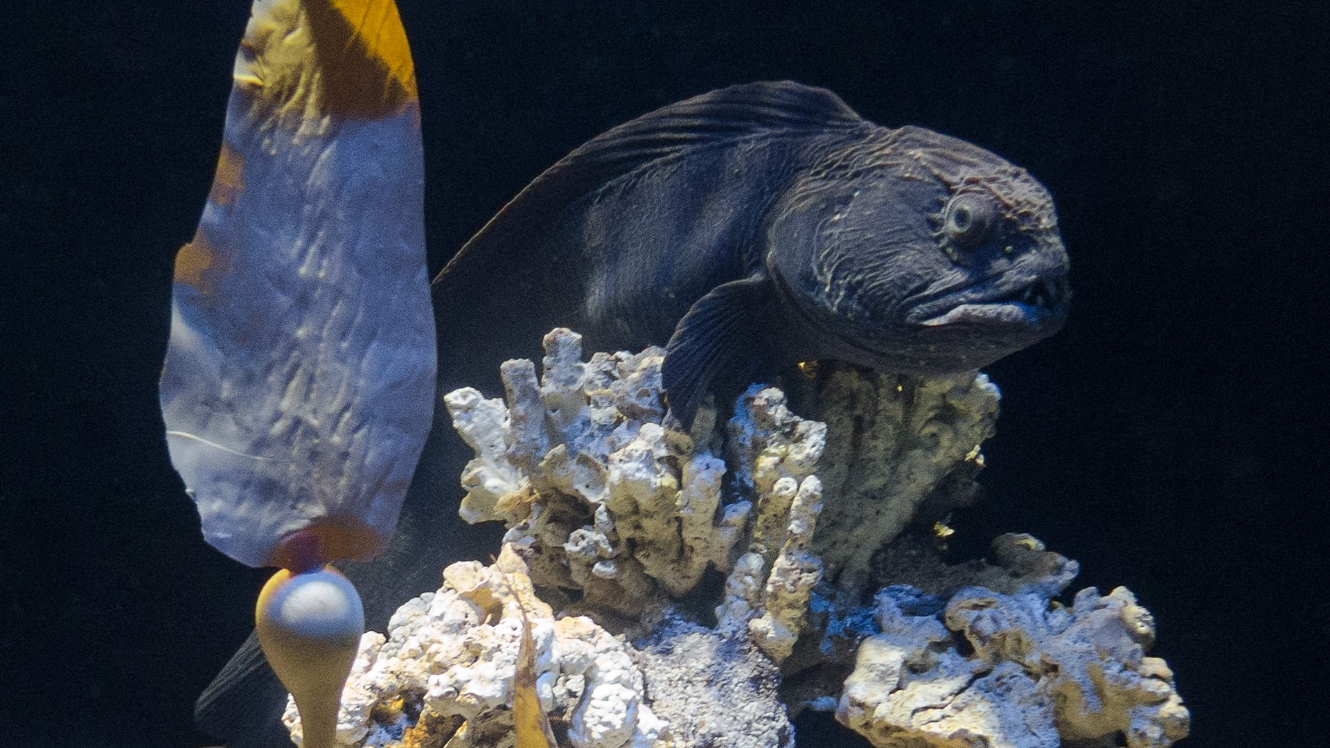 Дальневосточная зубатка, Bering wolffish (Anarhichas orientalis), S.E.A. Aquarium