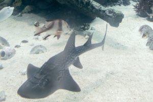 Рыба-рохля, акулий скат, Bowmouth guitarfish (Rhina ancylostoma), S.E.A. Aquarium