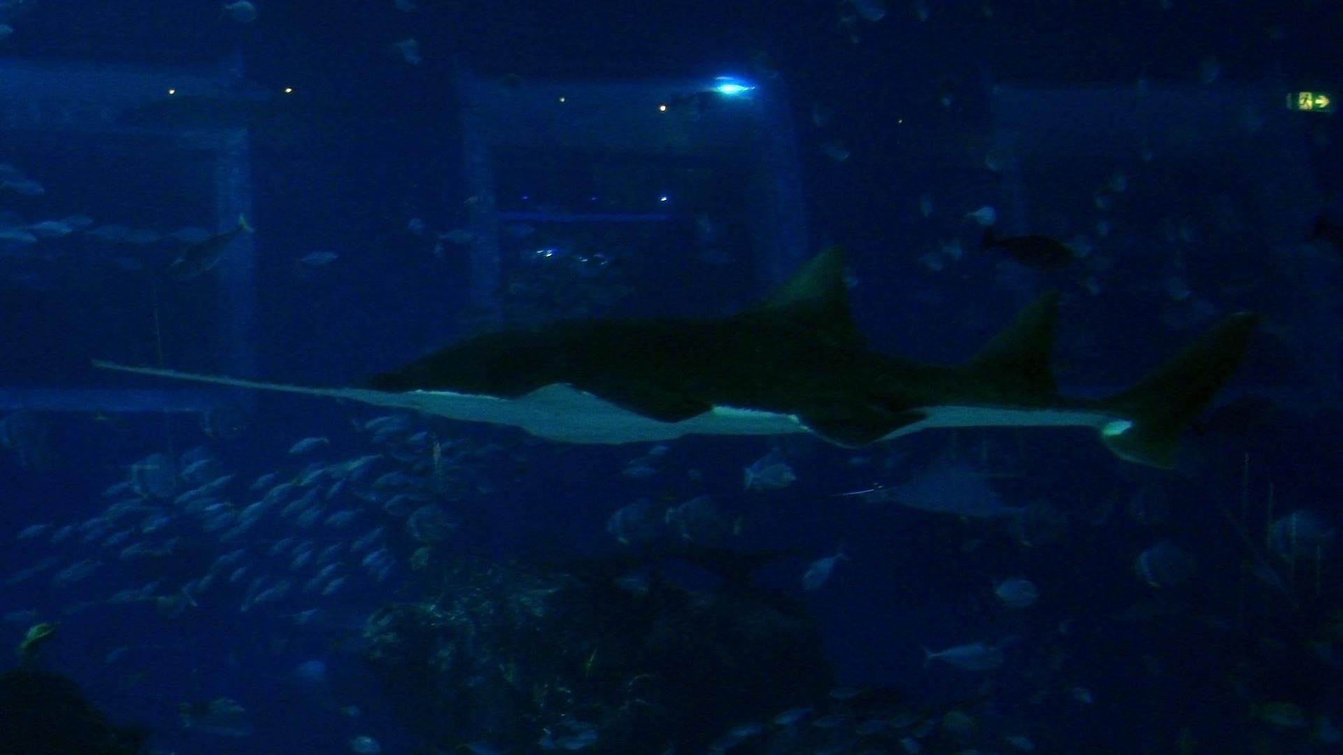 Рыба-пила Sawfish (Pristidae), S.E.A. Aquarium Singapore