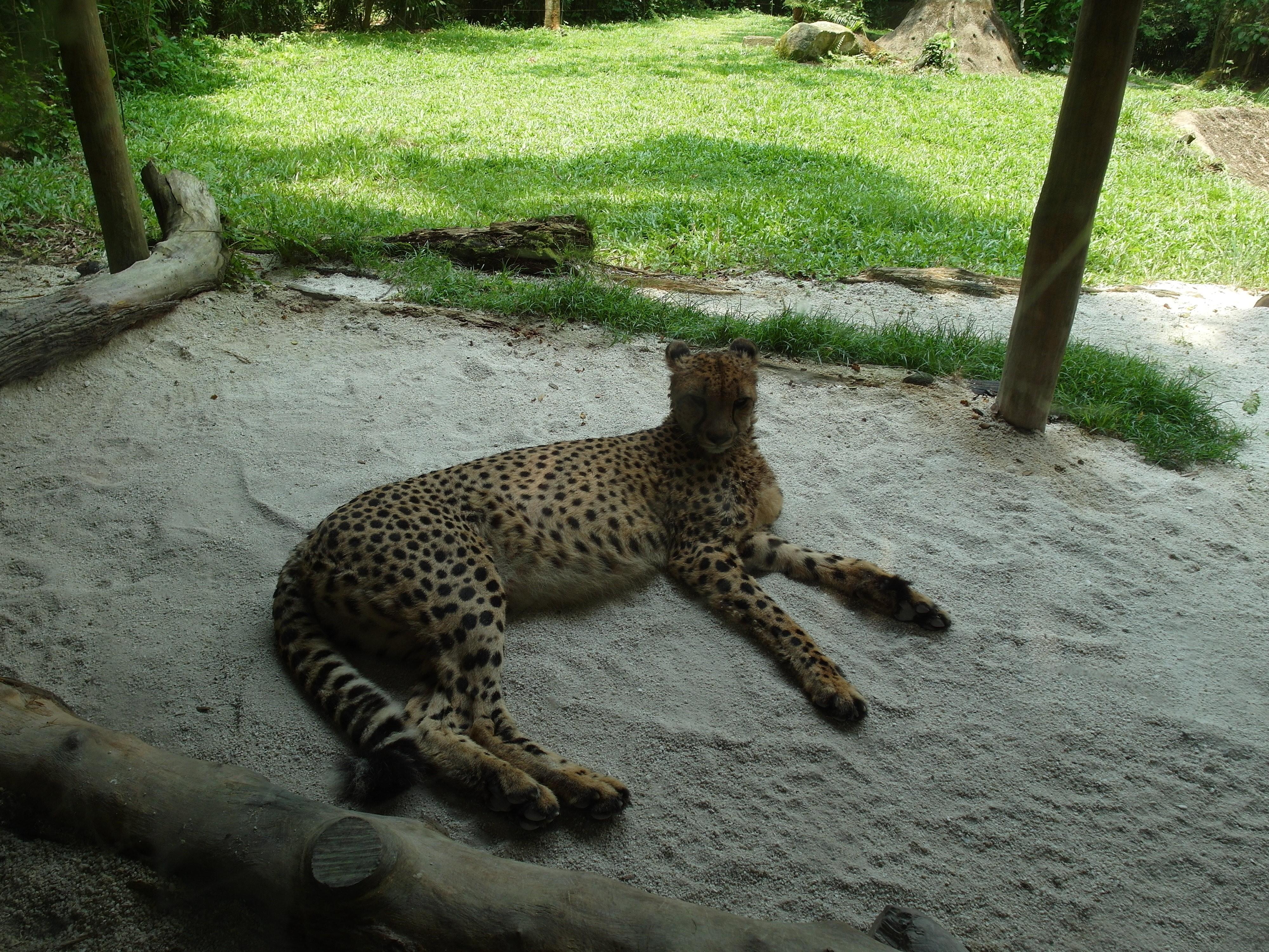 Гепард Cheetah (Acinonyx jubatus), Зоопарк Сингапура
