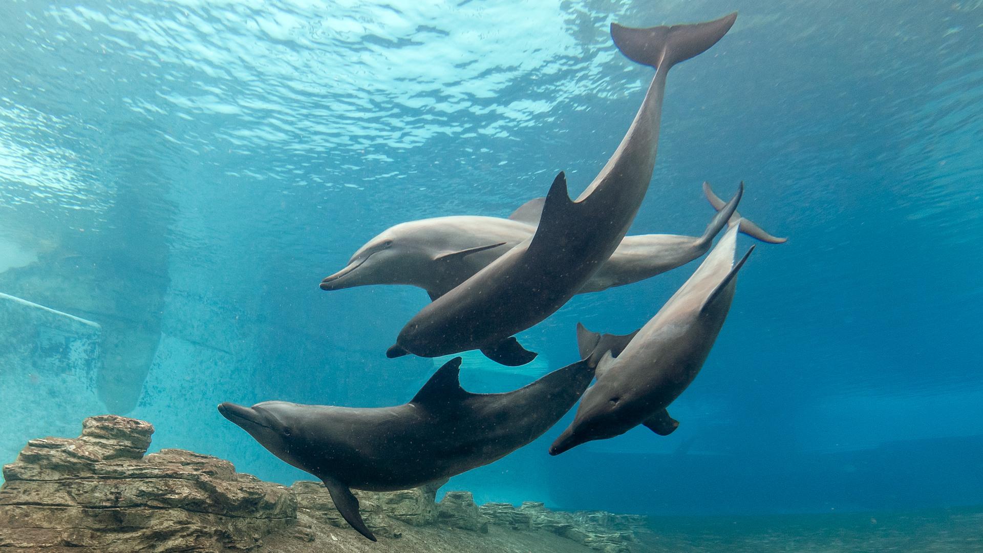 Афалина или большой дельфин, Common bottlenose dolphin (Tursiops truncatus), S.E.A. Aquarium