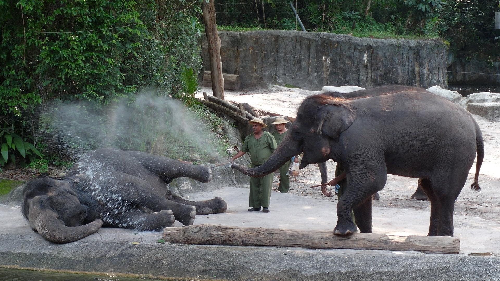 Слоны Elephant (Elephantidae), Зоопарк Сингапура
