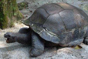 Гигантская черепаха Giant Tortoise, Зоопарк Сингапура