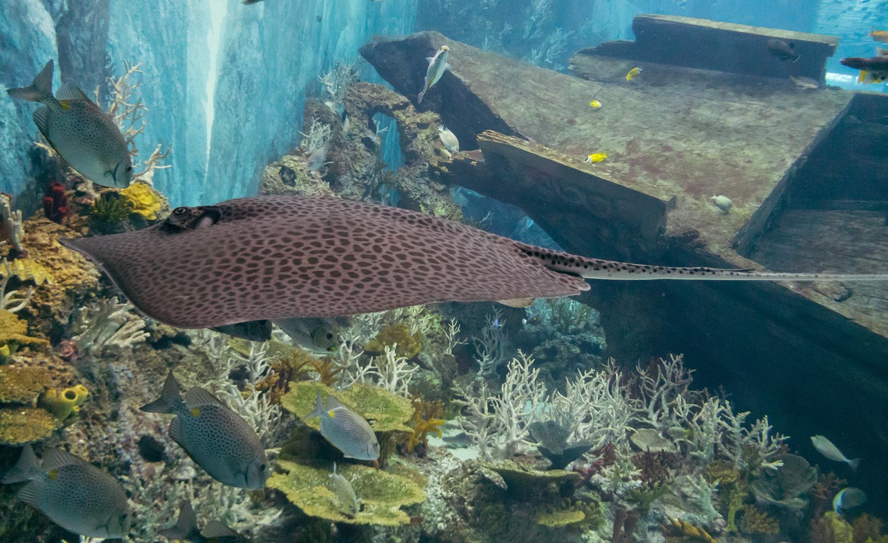 Леопардовый хвостокол, Honeycomb whipray (Himantura undulata), S.E.A. Aquarium