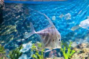 Философ или Индийский алект, Indian threadfish (Alectis indica), S.E.A. Aquarium
