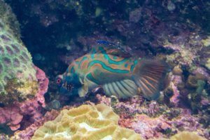 Мандаринка, Mandarinfish (Synchiropus splendidus), S.E.A. Aquarium