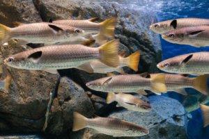 Какие-то кефалевые, Mullets (Mugilidae), S.E.A. Aquarium