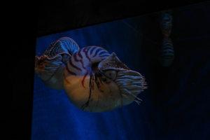 Наутилус помпилиус, Nautilus Pompilius, S.E.A. Aquarium