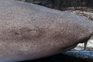 Усатая акула-нянька, The nurse shark (Ginglymostoma cirratum), S.E.A. Aquarium
