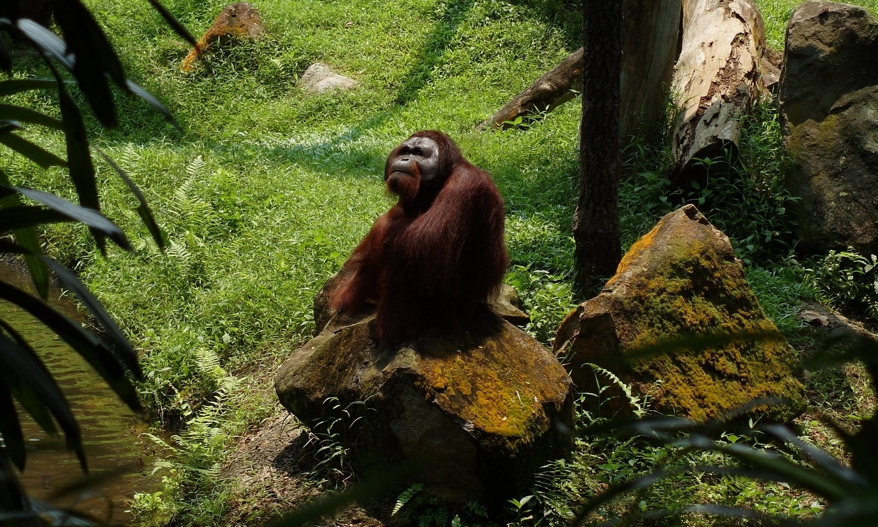 Орангутан Orang Utan (Pongo), Зоопарк Сингапура