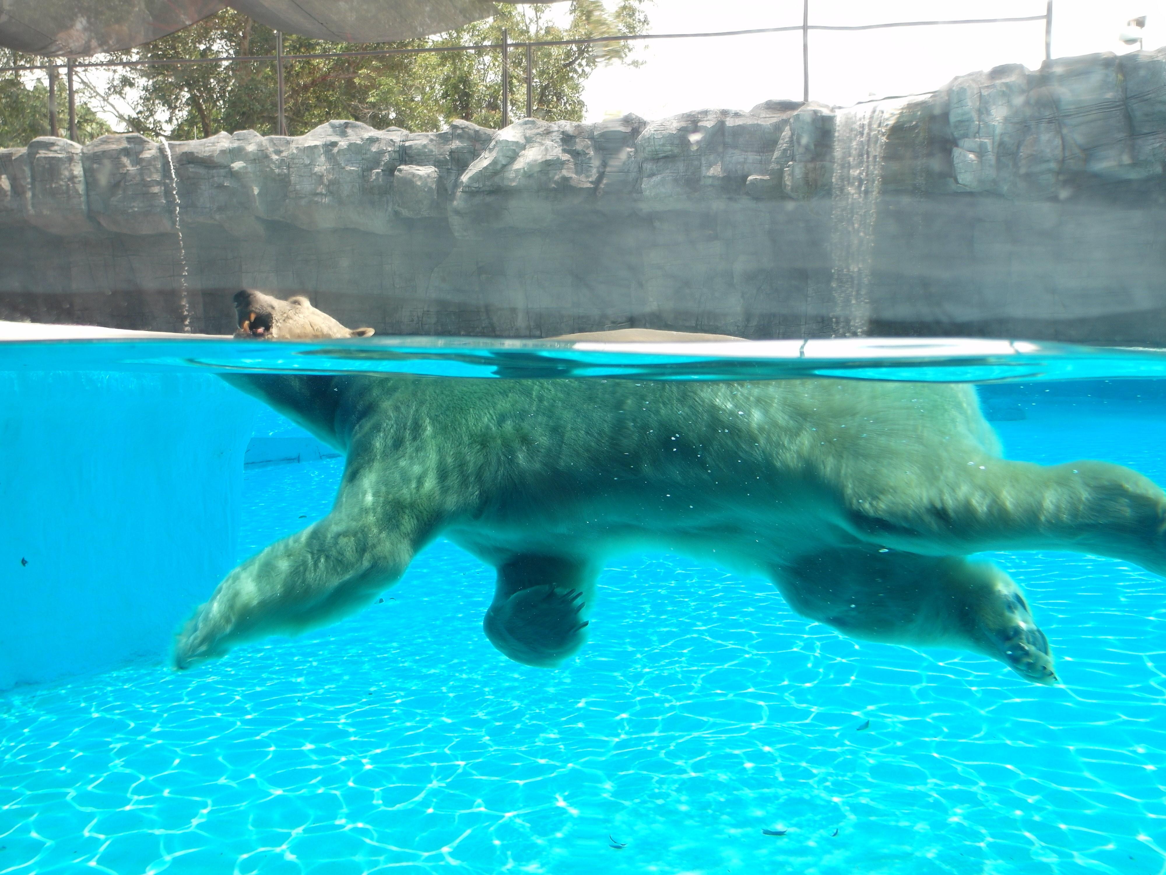 Белый медведь Polar Bear (Ursus maritimus), Зоопарк Сингапура