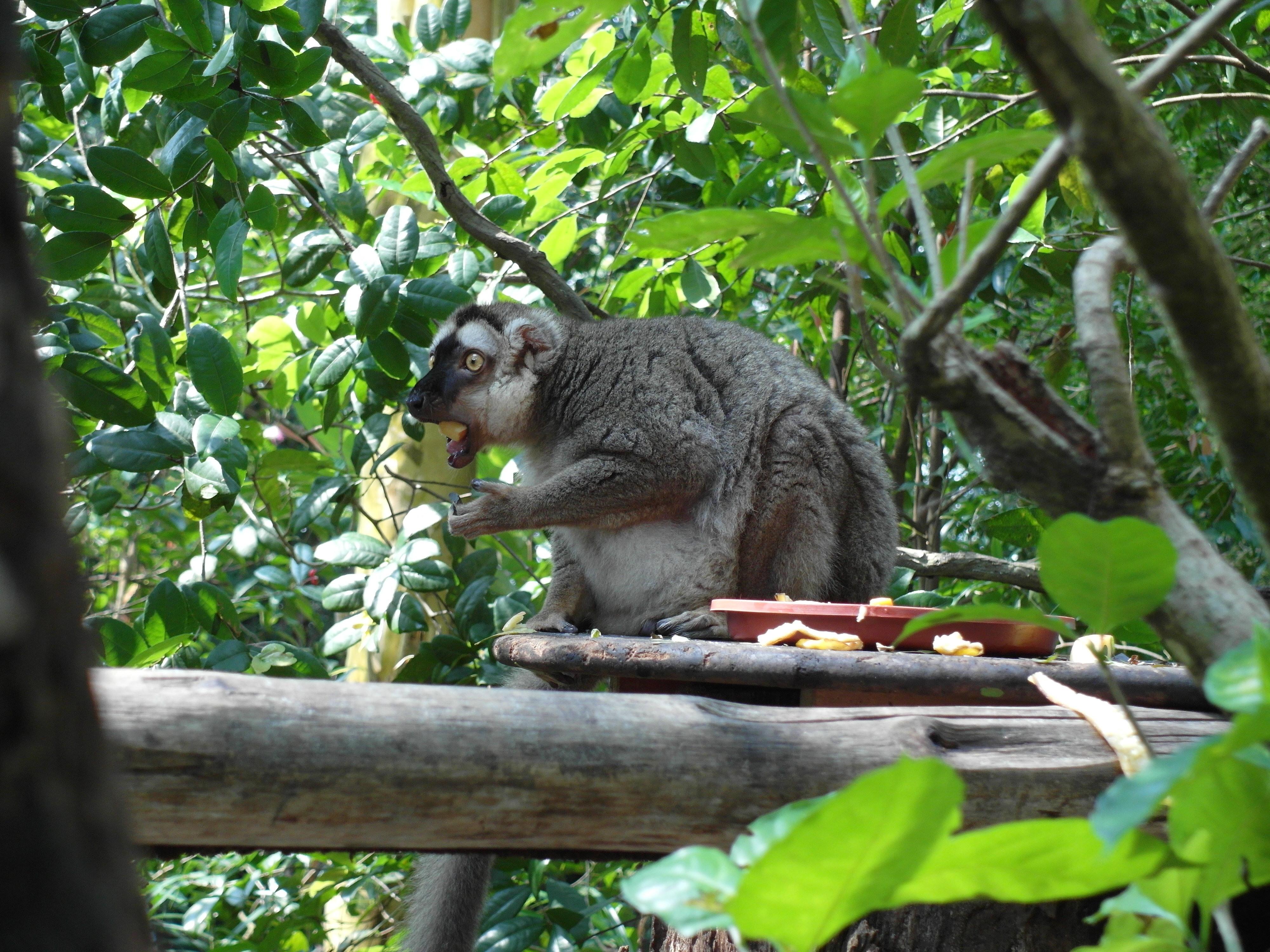 Тонкотелый лемур или лепилемур (Lepilemur randrianasoloi), Зоопарк Сингапура