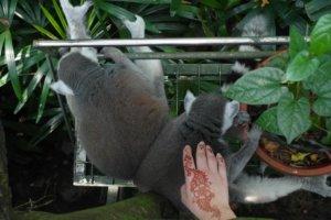 Кольцехвостый лемур Ring tailed lemurs (Lemur catta), Зоопарк Сингапура