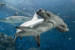 Бронзовая акула-молот, Scalloped hammerhead (Sphyrna lewini), S.E.A. Aquarium