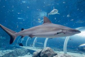 Белопёрая серая акула, Silvertip shark (Carcharhinus albimarginatus), S.E.A. Aquarium