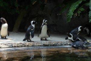 Очковый пингвин African penguin (Spheniscus demersus), Зоопарк Сингапура