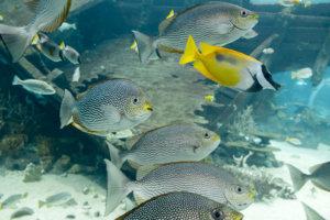 Сиганы яванские, Streaked spinefoot (Siganus javus), S.E.A. Aquarium