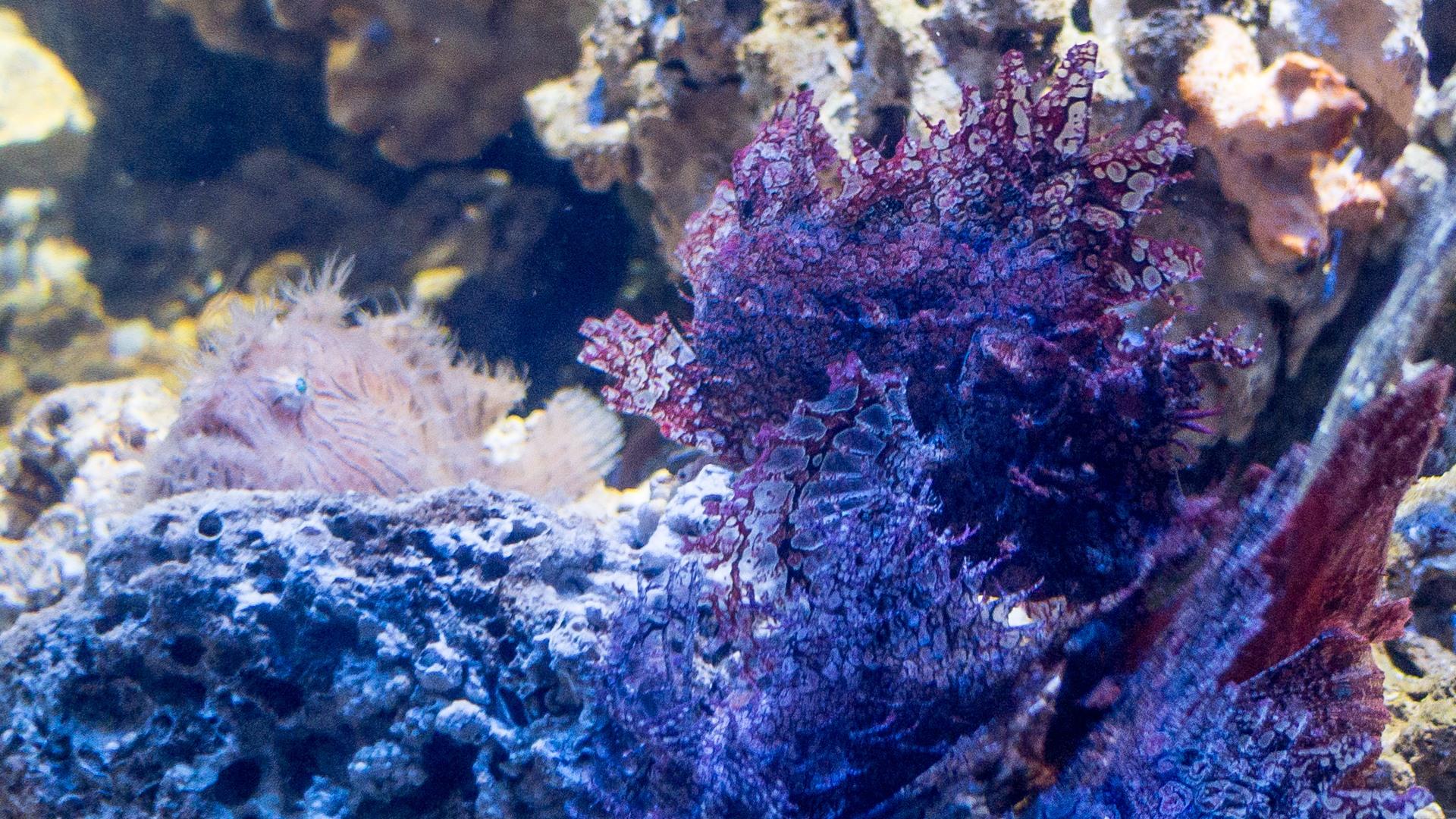 Таитийская бородавчатая рыба-клоун и худосочная скорпена, Striated Frogfish & Weedy Scorpionfish (Antennarius striatus, Rhinopias frondosa), S.E.A. Aquarium