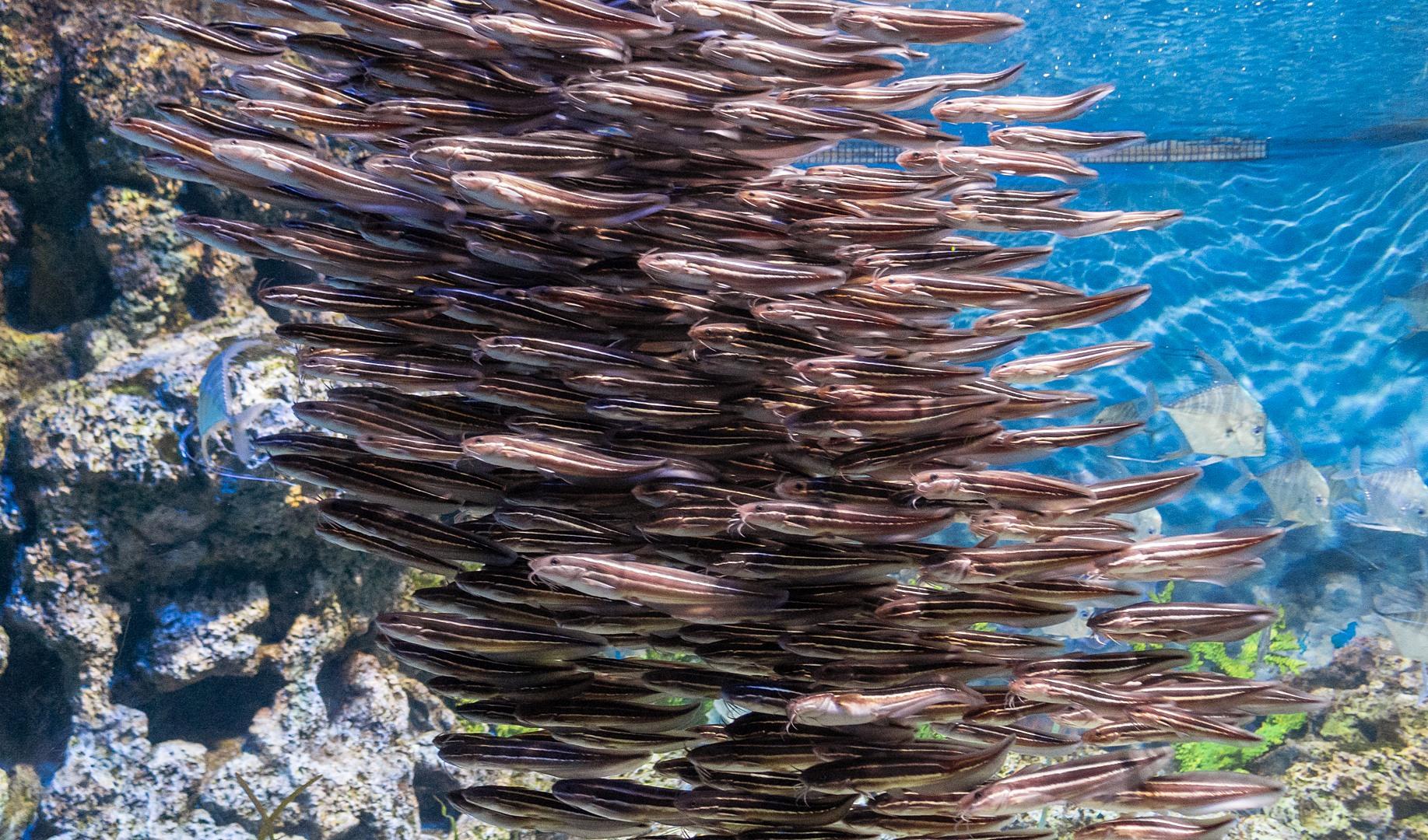 Полосатые угрехвостые сомики, Striped Eel Catfish (Plotosus lineatus), S.E.A. Aquarium