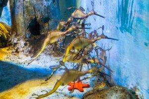 Морской дракон обыкновенный, weedy seadragon ( Phyllopteryx taeniolatus), S.E.A. Aquarium