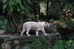 Белый тигр White Tiger (Panthera tigris tigris), Зоопарк Сингапурам