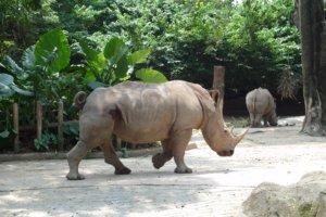 Белый носорог White rhinoceros (Ceratotherium simum), Зоопарк Сингапура
