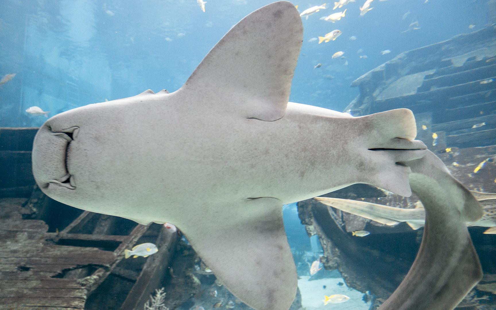 Акула-зебра, Zebra shark (Stegostoma fasciatum), S.E.A. Aquarium