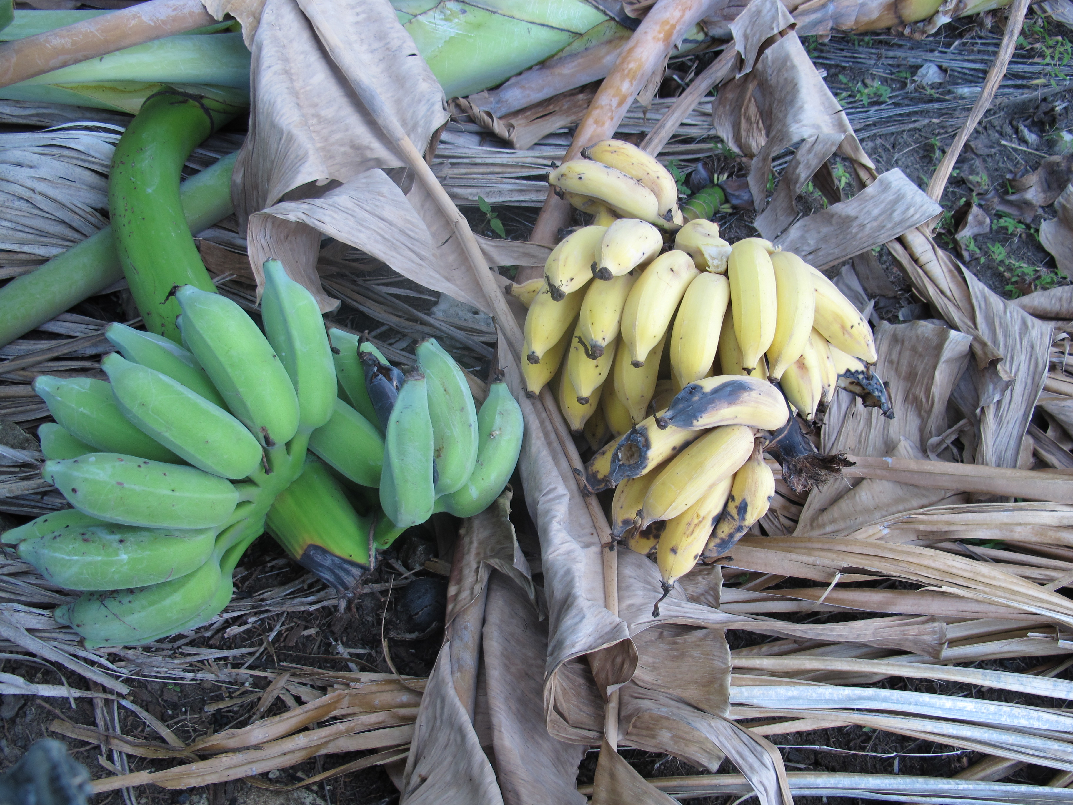 Дикие бананы (Whild Bananas)