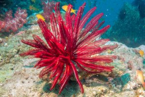 Перистая морская звезда, red feather star, Himerometra robustipinna