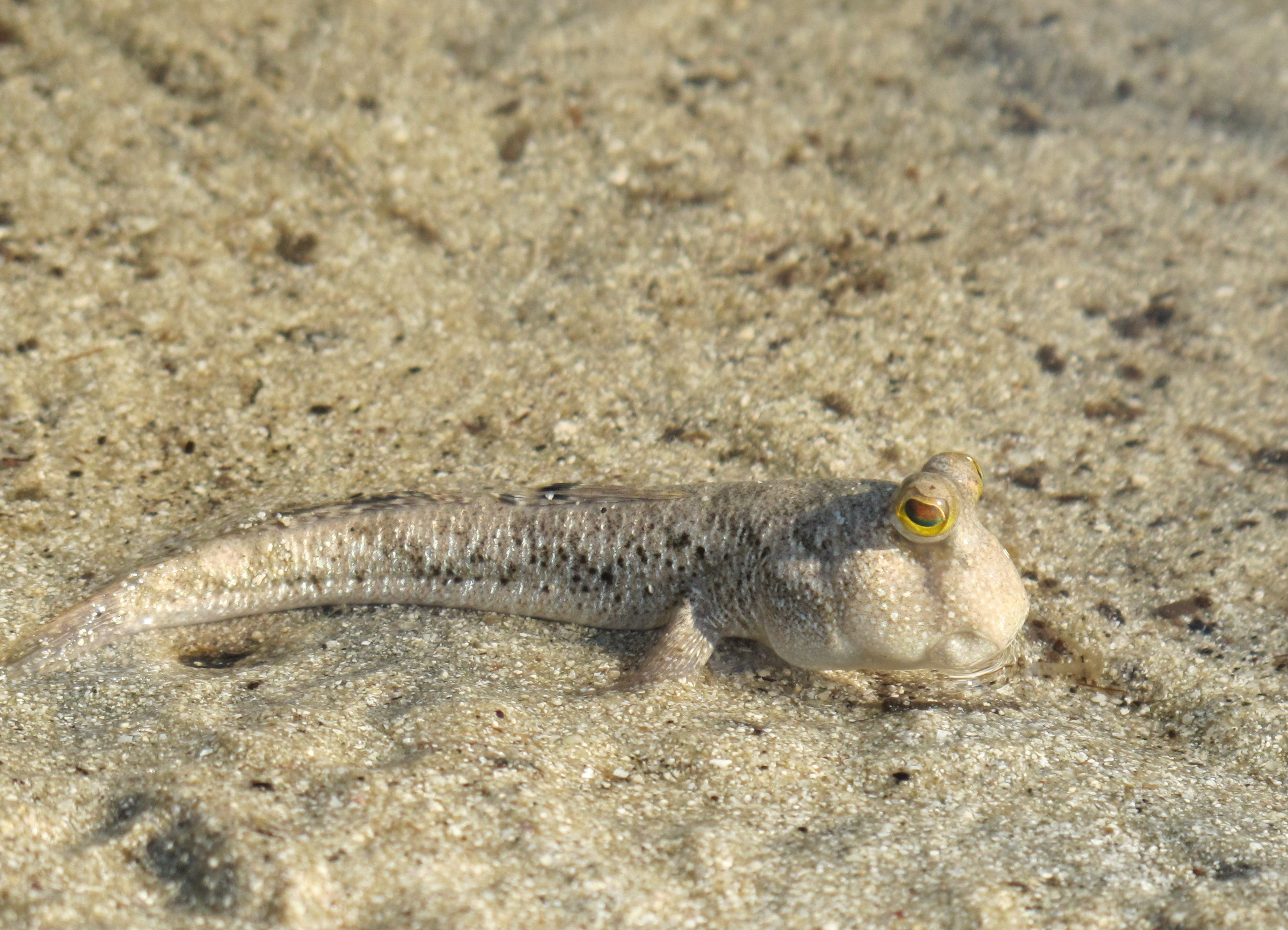 Илистый Прыгун, Mudskipper (Periophthalmus sp.)