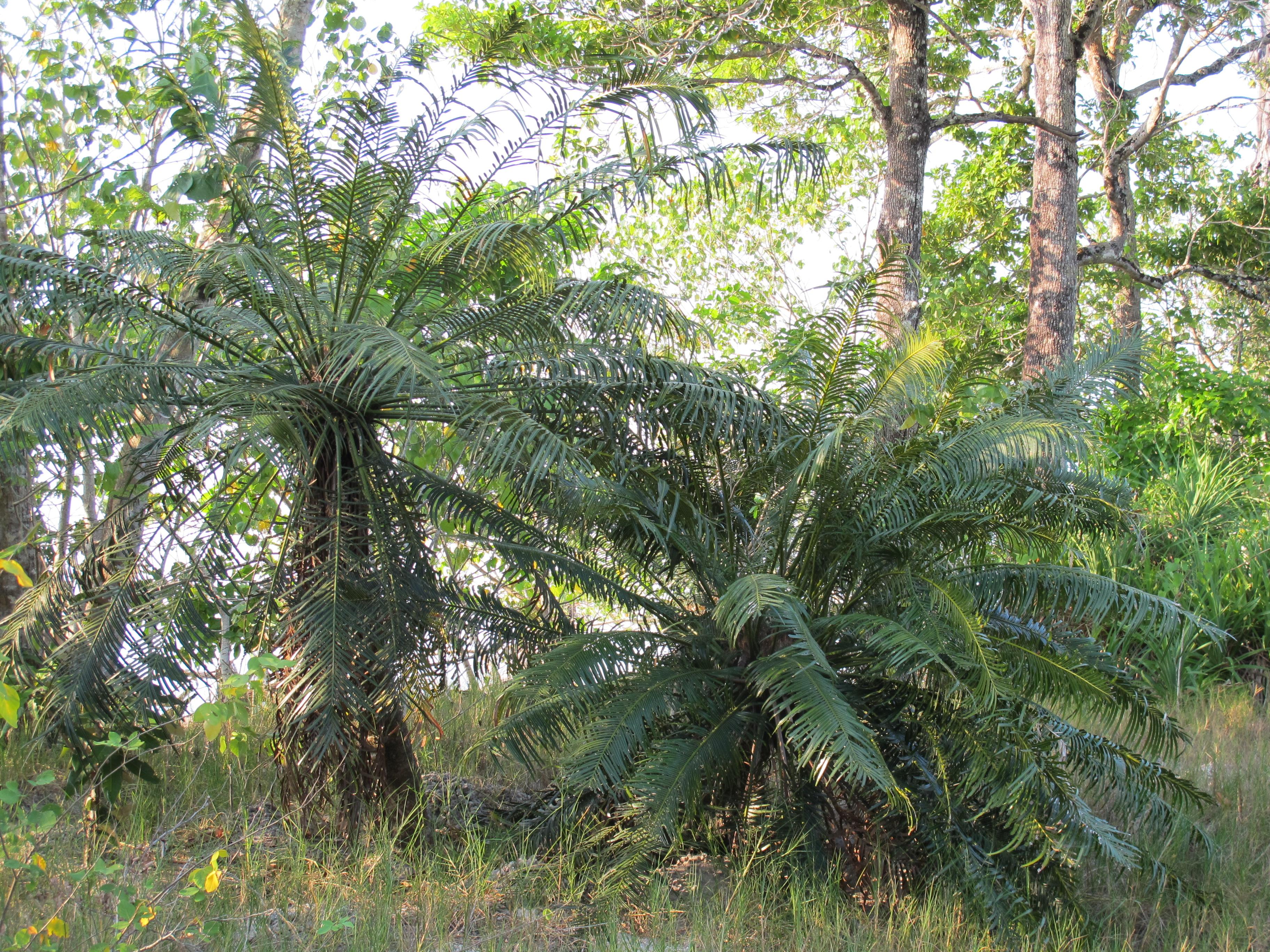Саговник Завитой - Queen Sago, (Лат. - Cycas circinalis)