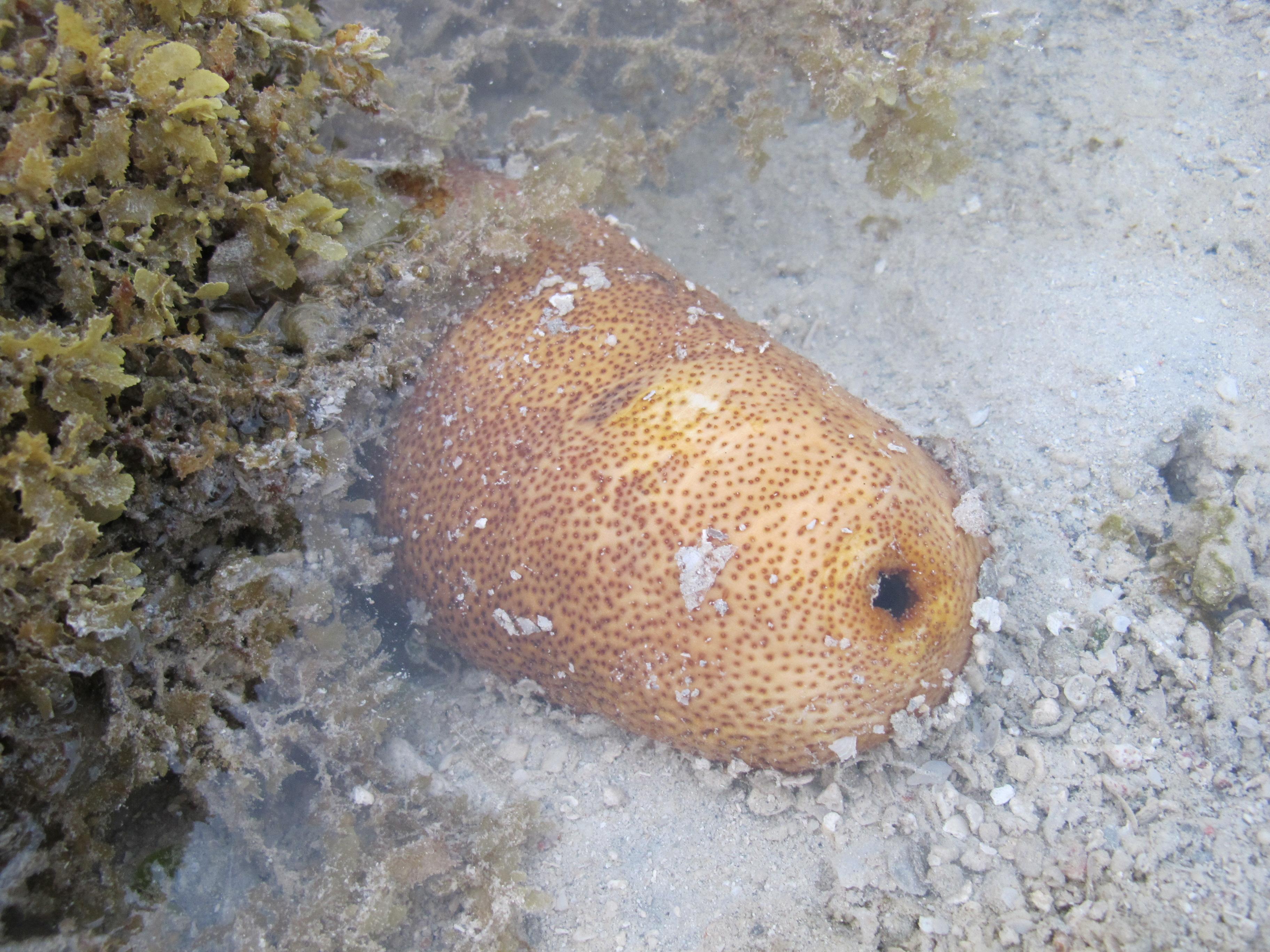 Защищающийся Морской огурец, Defensive sea cucumber, Bohadschia vitiensis