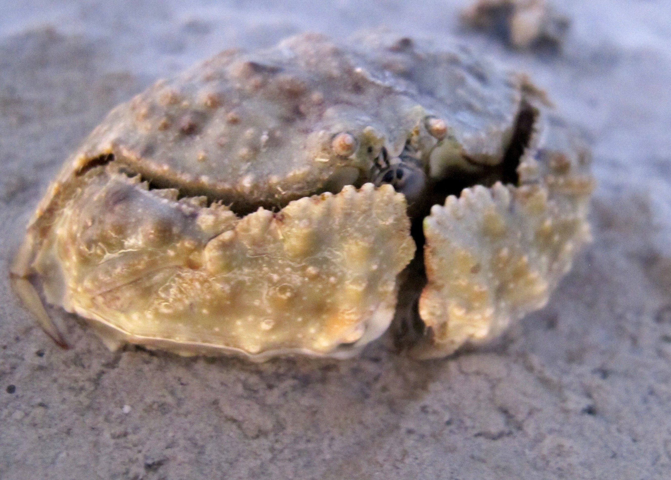 Стыдливый или Коробчатый Краб, Камень-Краб, Smooth Box Crab (Calappa hepatica)