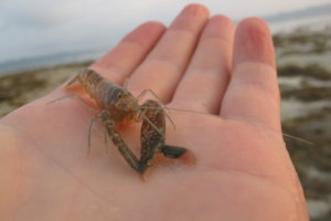 Креветка-щелкун, Snapping-shrimp, (Synalpheus cretoculatus)