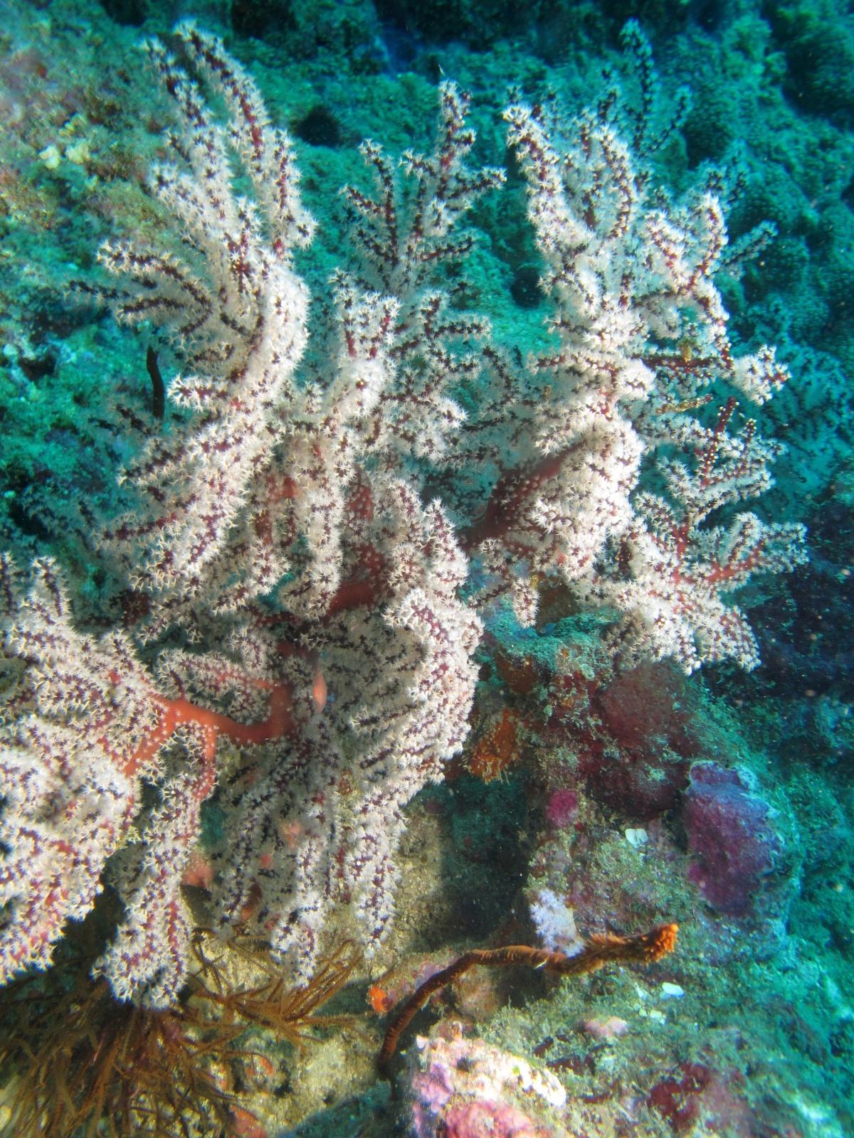 Узловатая Горгония, Melithaea sp