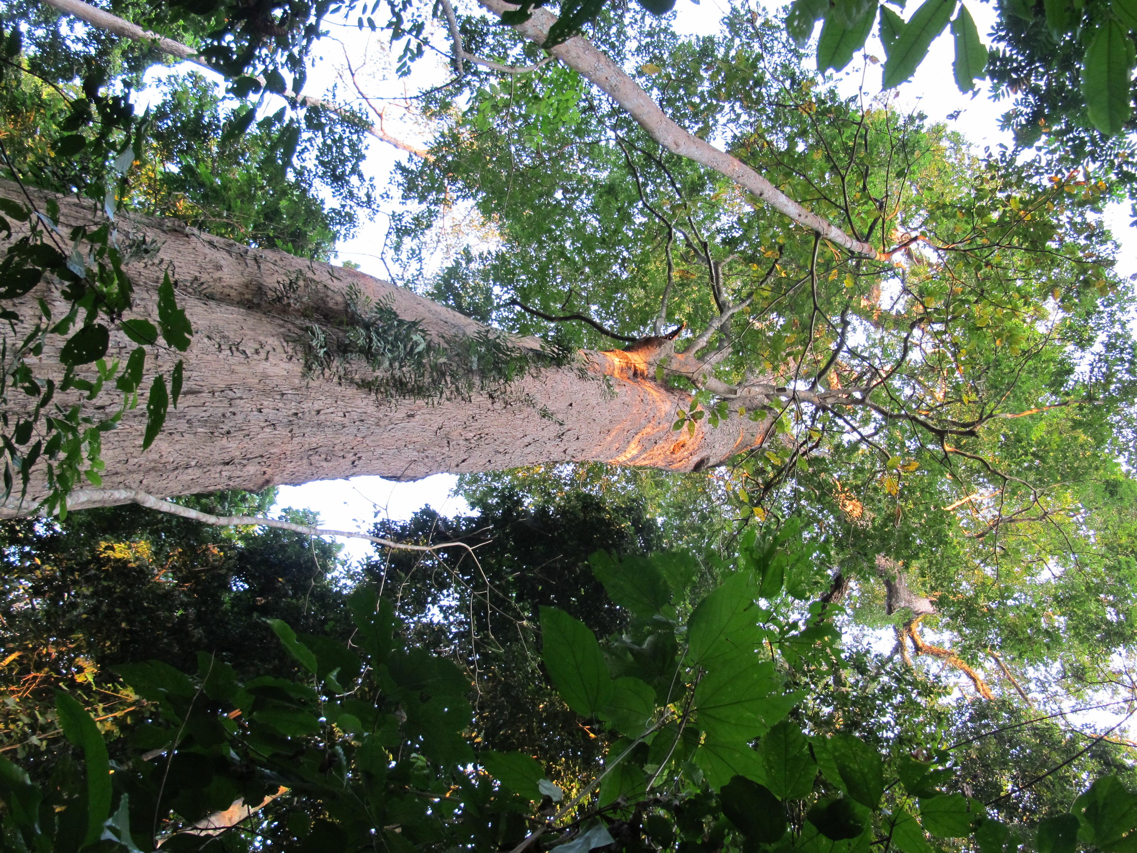 Терминалия Двукрылая, White Chuglam (Terminalia bialata)