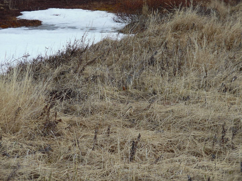 Американский, или берингийский, или американский длиннохвостый суслик (Spermophilus parryi)
