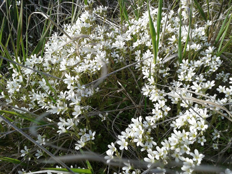 цветы, тундра, Чукотка