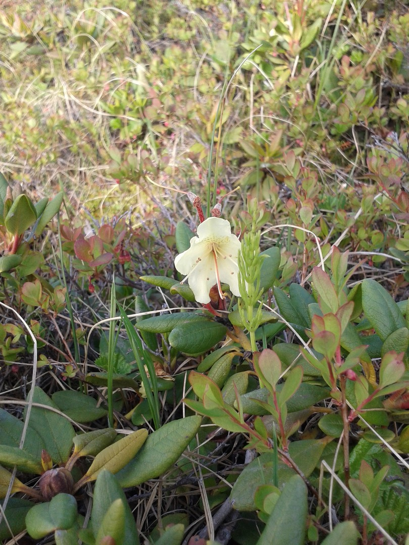 Рододендрон — Rhododendron (Rhododéndron), тундра