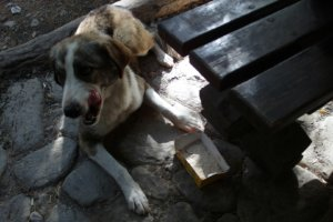 собака с базы Чегет
