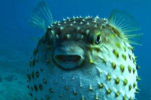 рыба-ёж (лат. Diodon hystrix)