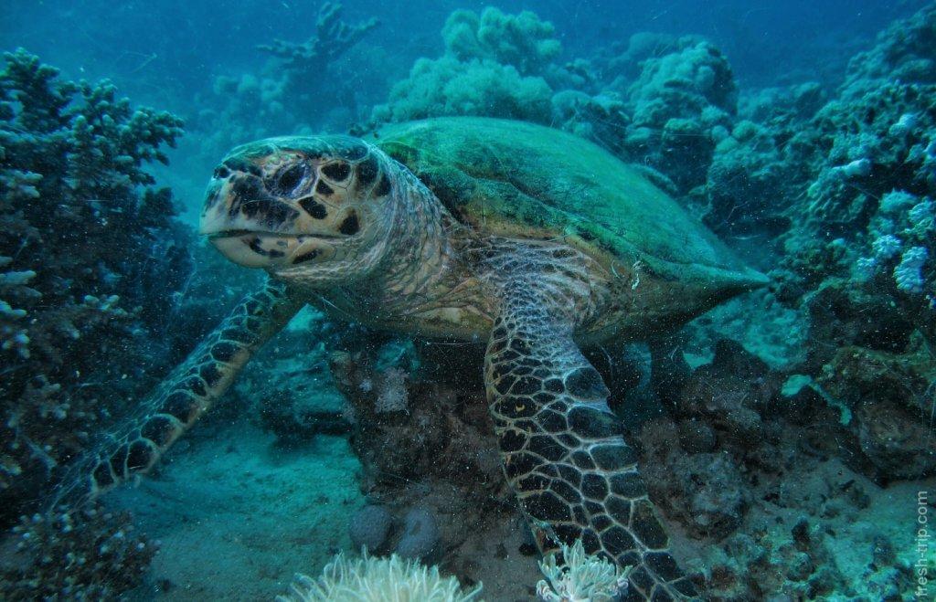 зелёная черепаха (Chelonia mydas)