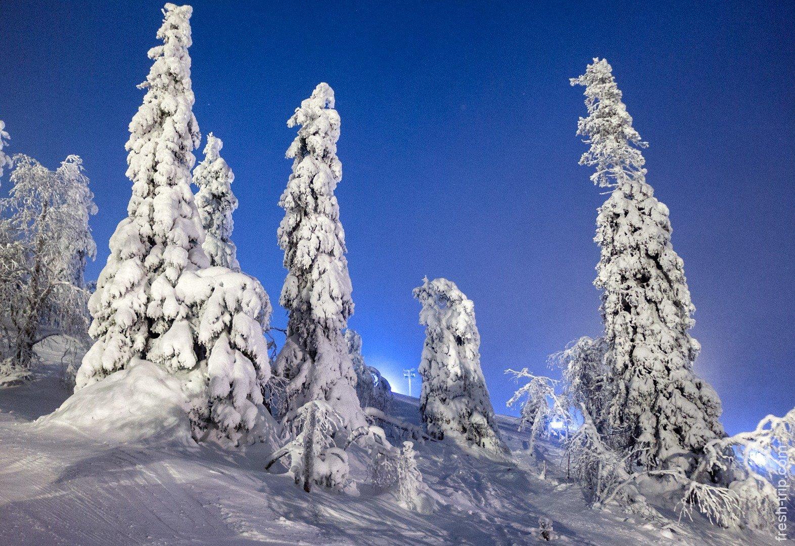 ели под снегом